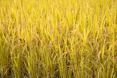 Full ripen rice in autumn Royalty Free Stock Images
