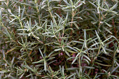 Full rosemary plant Stock Photography