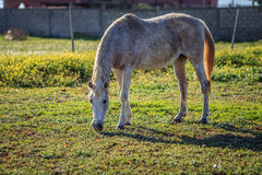 Horse eating grass. Full scale picture of horse eating grass Stock Photos