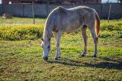 Horse eating grass Stock Photos
