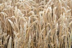 Ripe wheat ears from close Stock Image