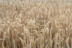 Ripe wheat ears from close Royalty Free Stock Photos