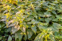Full-screen image of stinging nettles in the early morning sun stock photo