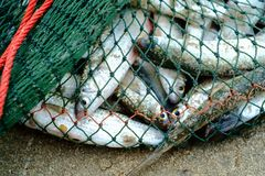 Full of sea fish in fishing net on the sandy beach. Were caught by fishermen royalty free stock images