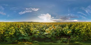 Full seamless spherical panorama 360 by 180 degrees angle view among blooming sunflowers fields in sunny summer evening in stock photos