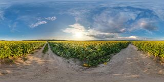 Full seamless spherical panorama 360 by 180 degrees angle view on gravel road among sunflowers fields in sunny summer evening in royalty free stock images