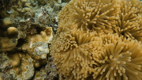 A close up shot of a floral coral reef underwater. A full shot of a floral coral reef. Shot pans to the left and zooms closer to the floral coral reef stock video footage