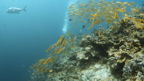 Groups of yellow fish and a scuba diver. A full shot of groups of yellow fish and shows a scuba diver between the group stock footage