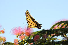 Full side view of Swallowtail Butterfly feeding stock images