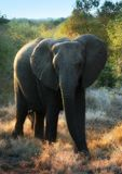 Full Size Elephant. An elephant in Kruger National Park Royalty Free Stock Image