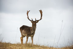 Full size male deer standing in the bushes in the dunes, Netherl Royalty Free Stock Photo