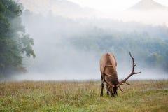 Full size male elk  grazing in North Carolina Royalty Free Stock Image