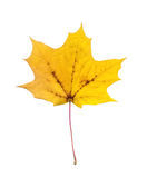 Full-size maple autumn leave Stock Images