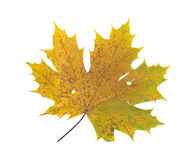 Full size photo of leaf isolated Royalty Free Stock Photos