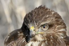 Full size very close up and detailed photo of head and eyes of common buzzard Royalty Free Stock Images