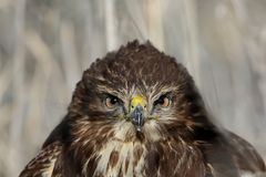 Full size very close up and detailed photo of head and eyes of common buzzard. Looks at the camera Royalty Free Stock Image