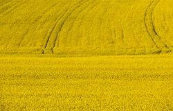 Full size colza field with tractor lines in the background. royalty free stock image