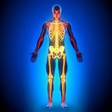Full Skeleton - Anatomy Bones. Medical imaging Royalty Free Stock Photography
