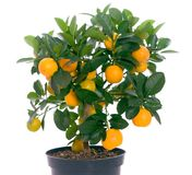 Full of small citrus tree. Beautiful citrus tree with orange fruit on branches royalty free stock photo