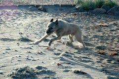 Full Speed Dog Stock Photo