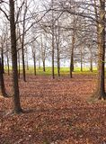 Striking Tree Trunks and Band of Grass in Distance. Full on spring beckons in this vista of tree trunks and tangled branches still bare. Off ahead by the royalty free stock photography