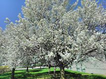 Full Spring Bloom royalty free stock photo