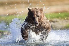 Full steam ahead. Adult brown bear chasing salmon Stock Photography