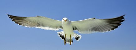 Full stretched wing seagull flying Royalty Free Stock Photo