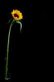 Full Sun Flower Background Stock Photo