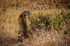Full tillbaka sikt av fläckarna och färgläggningen av geparden, medan den placeras i den Tarangire nationalparken Tanzania royaltyfri fotografi
