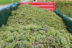 Full trail of grapes. Full trail of harvested grapes stock photography