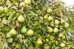 Full tree with pears Stock Photos