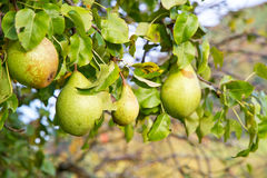 Full tree with pears Royalty Free Stock Photo