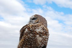 Full Upper Torso of Mexican Spotted Owl. A Mexican Spotted Owl looks out to the left of screen Royalty Free Stock Images