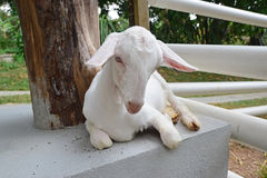 Full view of cute little lamb goat royalty free stock image