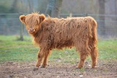 Cute young Scottish Highland Cattle calf with light brown long and scraggy fur stock images