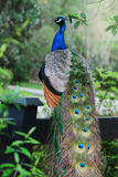 A full view of a gorgeous peacock with colorful fathers. Stock Images