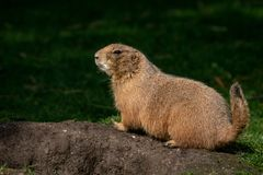 Full view of a prairie dog. Prairie dogs genus Cynomys are herbivorous burrowing rodents native to the grasslands of North America stock image