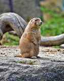 Full view of Prairie dog standing Royalty Free Stock Photos