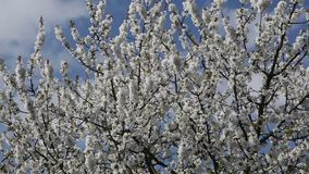 White cherry tree blossom with blue sky stock video footage