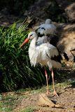 Full view of white stork is a large wading bird in the stork family Ciconiidae. Photography of nature and wildlife royalty free stock photos