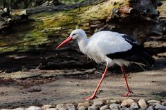 Full view of white stork is a large wading bird in the stork family Ciconiidae. Photography of nature and wildlife royalty free stock photo