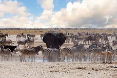 Full waterhole with Elephants Stock Photos
