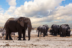 Full waterhole with Elephants Royalty Free Stock Photos