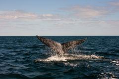 Full Whales Tail. Full Whale's tail during the migration to Magdalena Bay Mexico Stock Images
