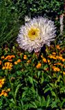 Full White Flower With A Beautiful Yellow royalty free stock images