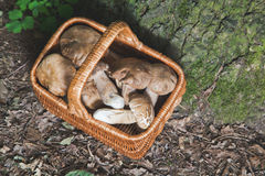 Full wicker basket of fresh white mushrooms in the forest Stock Image