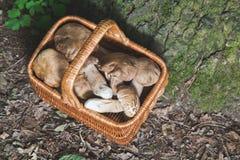 Full wicker basket of fresh white mushrooms in the forest Stock Image
