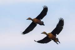 Full wings of Lesser whistling duck Royalty Free Stock Photos