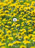 Full of yellow dandelions with one withered white Stock Photography